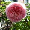 「アブラハム・ダービー」の開花