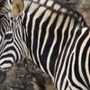 チャップマンシマウマ Equus quagga chapmani
