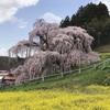 日本三大桜の一つ 樹齢は推定1000年超!三春町「三春滝桜」