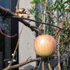 リンゴが色づき始めました