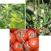 トマト4 トマトの未熟果実には「トマチン」と呼ばれる毒物(アルカロイド配糖体)が含まれます.芽が出たジャガイモや緑色の表皮に含まれる毒物(ソラニン・チャコニン)と同じような物質.青いトマトには気をつけましょう.特にお子さんは.