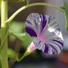 我が家の庭の朝顔と薄荷(メントール)の花