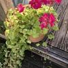 咲き終わったかと思ったらまたすぐ咲いてくれる♡ゼラニウムとグレコマの寄せ植え