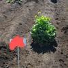 【農作業】じゃがいも収穫に向けて畑を耕す・種植え編
