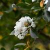 咲いたサルスベリの花