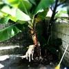 バナナの植え替え 畑作業