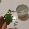 トマトの脇芽を水挿しに