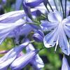 今日の誕生花「アガパンサス」梅雨入りから梅雨明けの花!季節を感じる花!
