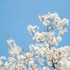 造幣局の桜の通り抜けとか大阪城とかEOS Rで試し撮り