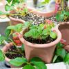 「さくらのIoT Platform β」でイチゴを育てる(1)