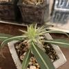 パキポディウム実生、種蒔きから21ヶ月