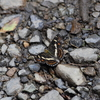 7/24・沢沿いの蝶たち 〜 北アルプスへつづく林道には身近なサカハチチョウやコミスジが多かったです