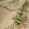 枝豆を植えた。ざるいっぱい食べるのが長岡流