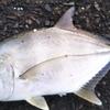 最近はギンカメメッキばかりだったけど今日はロウニンメッキが釣れたけど夕方にはまたギンガメメッキが釣れたお話。