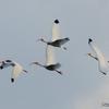 ベリーズ 自宅上空の White Ibis(ホワイト イビス)
