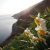 断崖絶壁に咲く白い花 ~灘黒岩水仙郷~