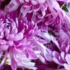 【食用菊かきのもとの下処理】花びらを外すポイント