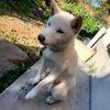 【悲報】柴犬のばん太(♂6カ月)を飼い始めて1カ月、3回目の散歩中に足を骨折❗️犬と散歩するのが第一の目的で犬を飼ったのに全然散歩するようになりません。