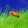 (熱帯魚) レッドミッキーマウスプラティ 【10匹セット】 生体