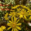うちの庭探検!季節の植物~ツワブキの伸び具合が凄い~