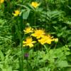 キンバイソウ(金梅草) 今日取り上げるキンバイソウは,山野草の愛好家なら,誰もが知る花(らしい.私は知りませんでしたが).生育地は山地帯の湿り気の多い林縁や草原,あるいは湿原.近縁に高山帯に生育するシナノキンバイ,礼文島固有種のレブンキンバイソウ. キンバイソウ属のラテン語名Trolliusは,セイヨウキンバイソウのドイツ語に由来するとのこと.日本の三種とはやや異なった丸い花です.「梅/梅花の名前が付けられた植物」4