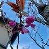 いにしへを今に匂へる八重桜(あ)