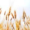 小麦粉について。