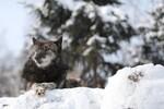 シンリンオオカミの静と動。 @2月の旭山動物園