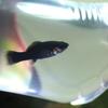 熱帯魚水槽 油膜対策で除去にはあるお魚です