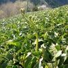 新茶を収穫するための準備中