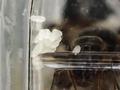 【トビイロケアリ飼育日記 2】ついに女王蟻がタマゴを産みました