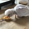 コロナ自粛生活 セキセイインコの雛を飼いましたおすすめペットショップ(東京)