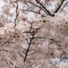 桜の名所でお花見♪