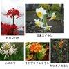 美しい花たち:スイセンやヒガンバナの仲間.しかし,これらのヒガンバナ亜科の植物は,ほぼ皆「有毒植物」.でもその毒は猛毒ではなく,直接死に至ることはありません(でも嘔吐・下痢は苦しいもので,喉を詰まらせて亡くなった例も;誤食には要注意).気分を害する方を気にすることなく,ヒガンバナをどこにでも飾れるようになって欲しいものですが---