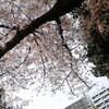 桜の木の下で煎餅をかじる