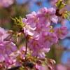 河津桜がやっと咲きました