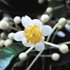 今日の誕生花「フクギ」沖縄で見られる防風林や染色の花!