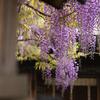 近所の神社の藤の花
