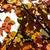 ヤマボウシ(山法師)の紅葉など
