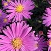 鮮やか!紫色の野菊♪