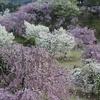 しだれ桜まつり 2017 幸田町