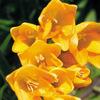 今日の誕生花「フリージア」新しい品種が昭和30年代に輸入されカラフルな色が多く人気の花!