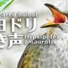 ヒヨドリの鳴き声【野鳥図鑑・鳴き声図鑑】Hypsipetes amaurotis Bulbul