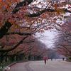 桜の花と紅葉