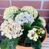 〜癒しの時間〜ベランダにお花!紫陽花の植え替え!