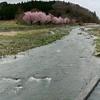 遠野 桜満開!
