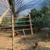 新しい鶏が来た!
