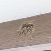 巣作り4日目。ツバメが巣を作ると縁起がいいらしいよ!