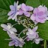 猫さんたち 紫陽花
