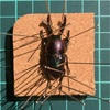パプキン標本製作-その1脱脂〜展足まで